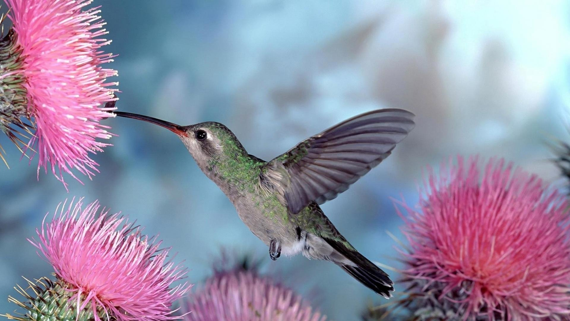 269 Hummingbird HD Wallpapers