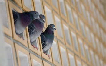 Animal - Pigeon Wallpapers and Backgrounds ID : 389996