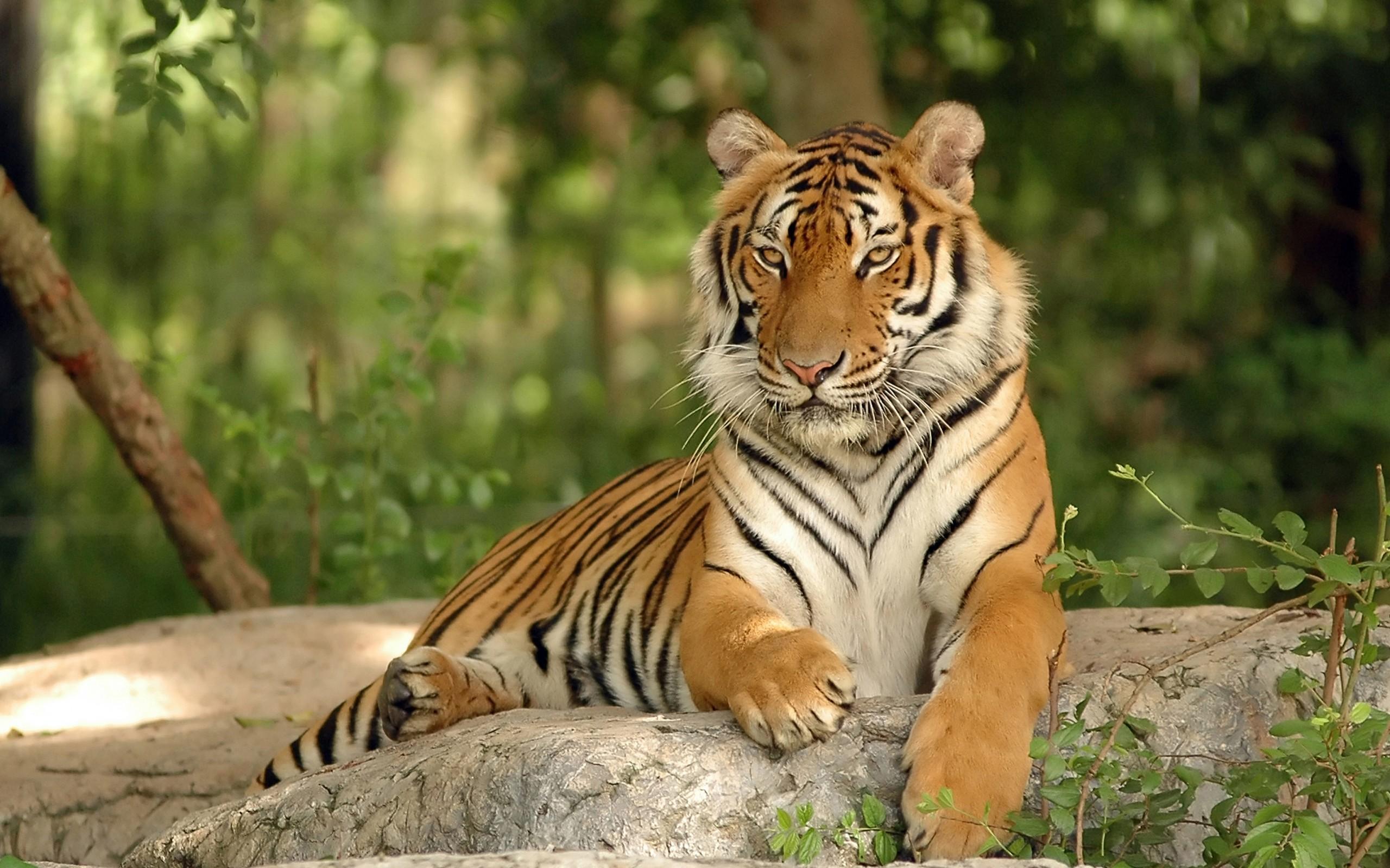 tiger hd wallpaper | background image | 2560x1600 | id:390413