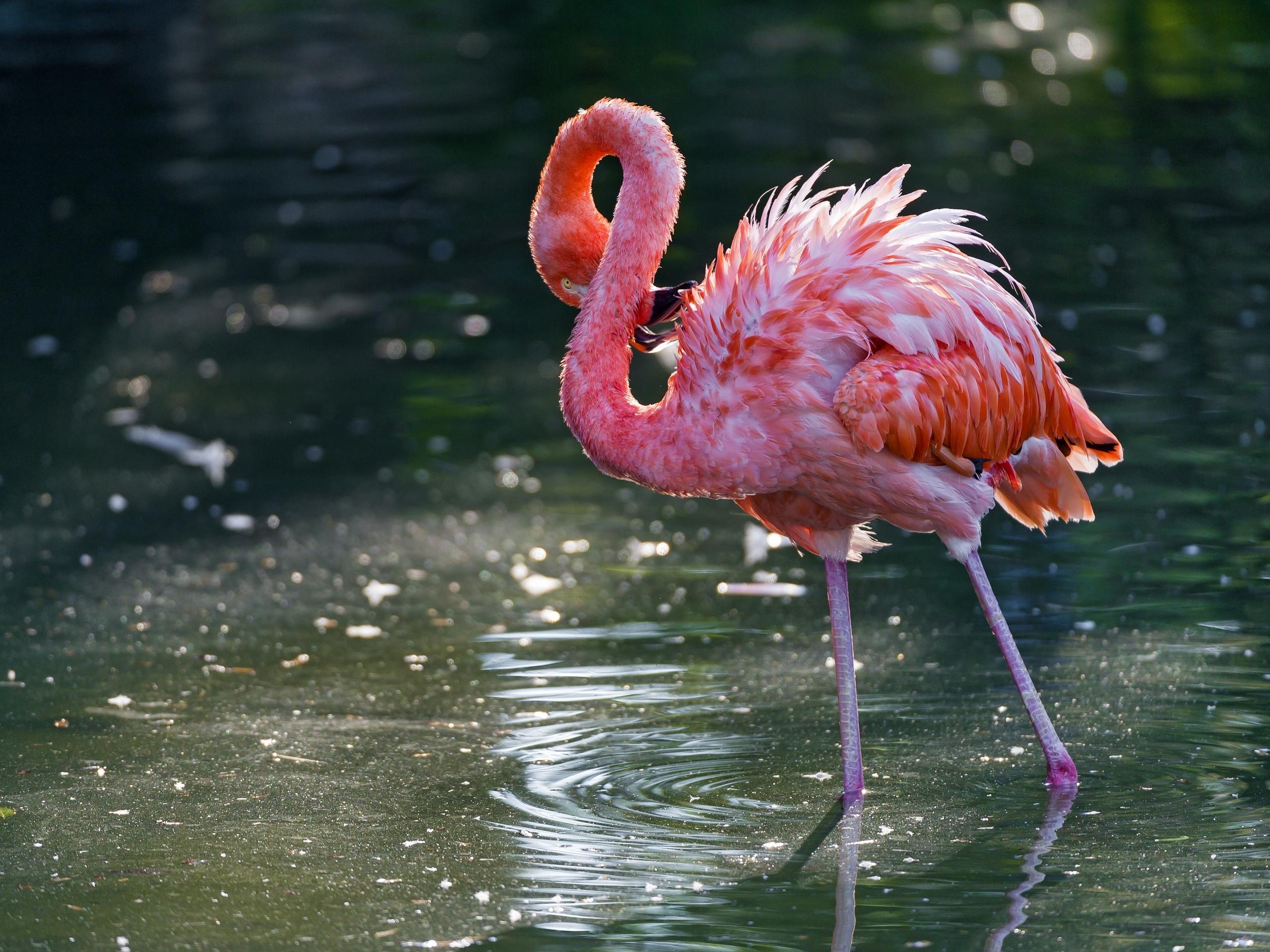 flamingo computer wallpapers desktop backgrounds