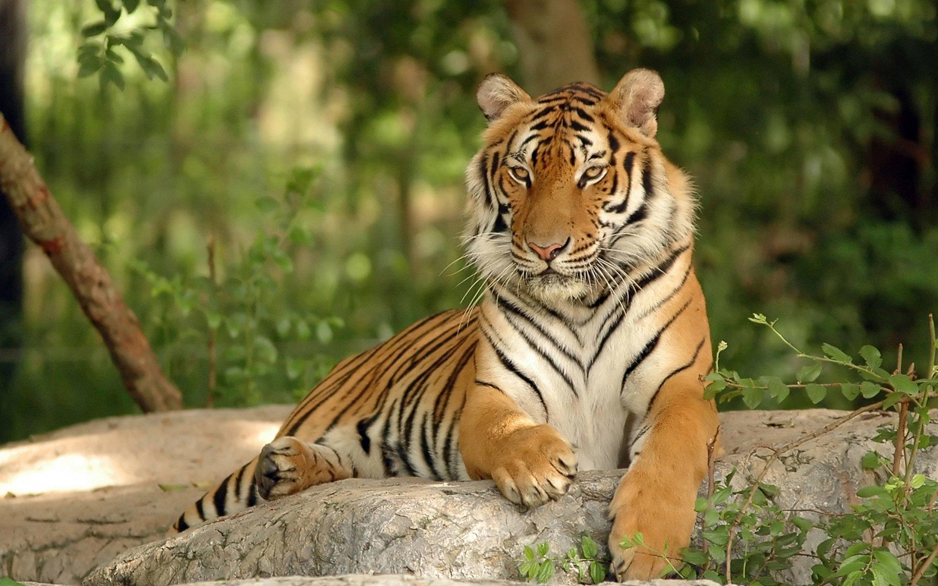 Hd Tiger Pictures Tiger Wallpapers: Tiger HD Wallpaper