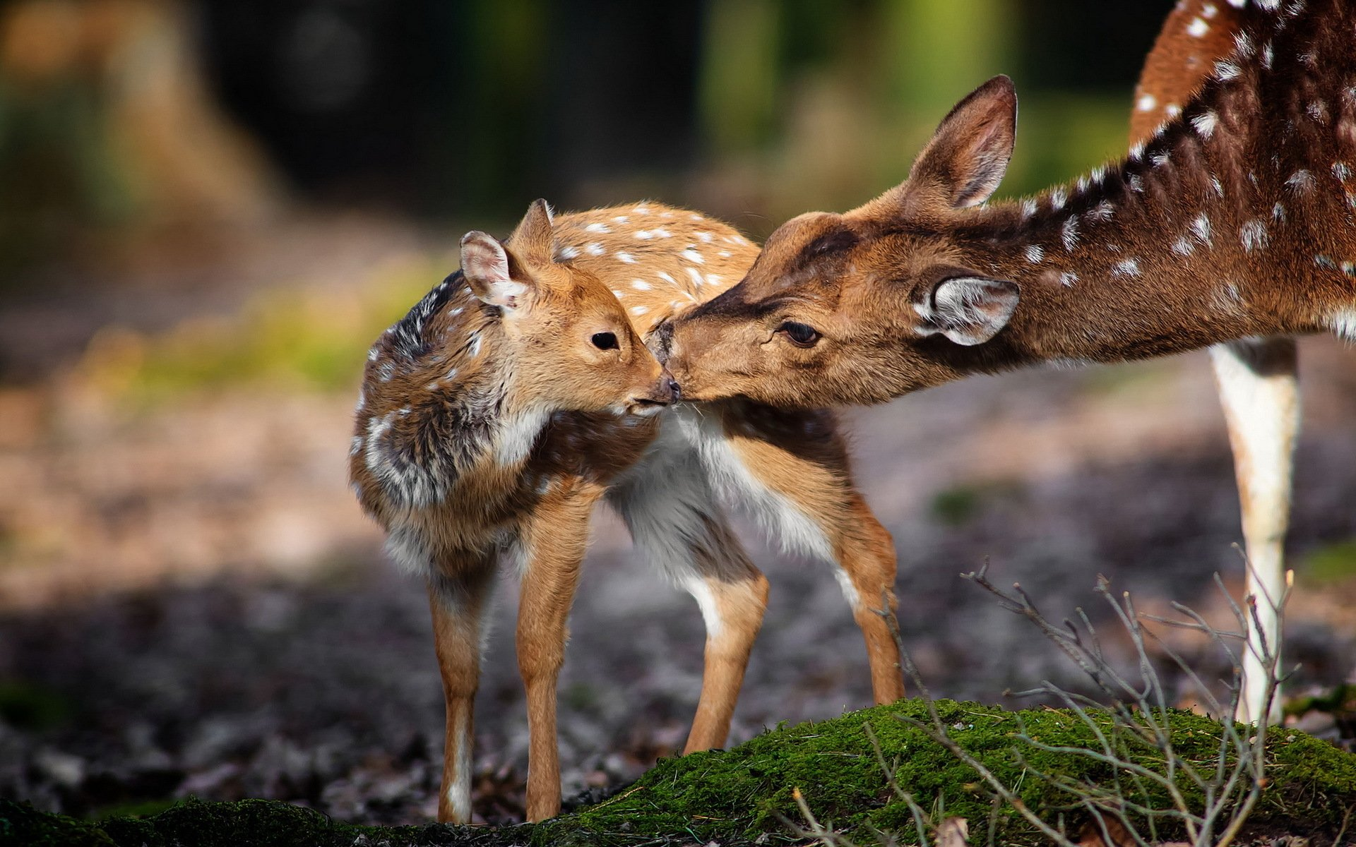 Animals 68 Hd Wallpapers Hd Wallpapers: Deer Full HD Wallpaper And Background Image