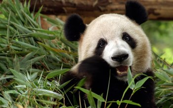 Animal - Panda Wallpapers and Backgrounds ID : 390782