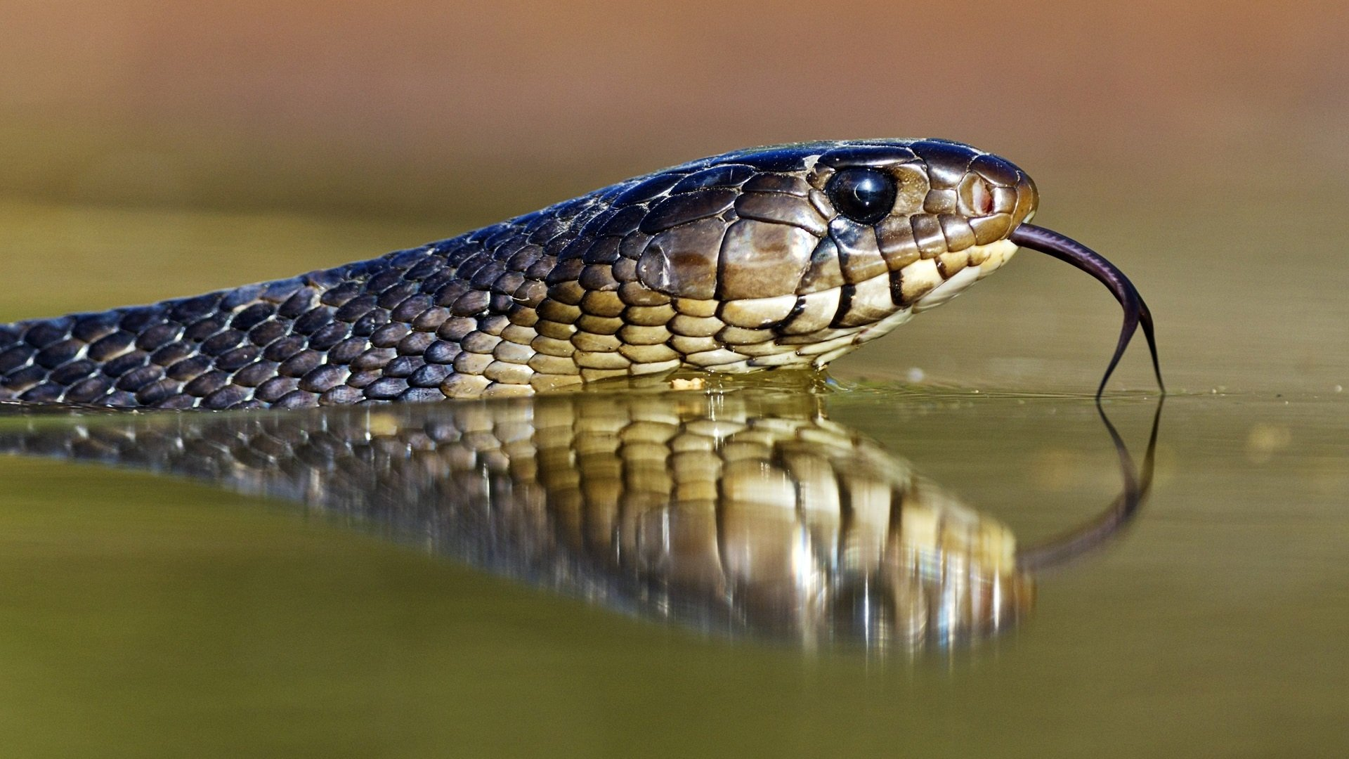 snake hd wallpaper background image 1920x1080 id 391746
