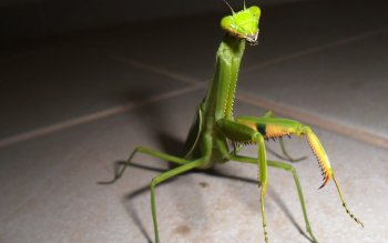 Djur - Praying Mantis Wallpapers and Backgrounds ID : 391721