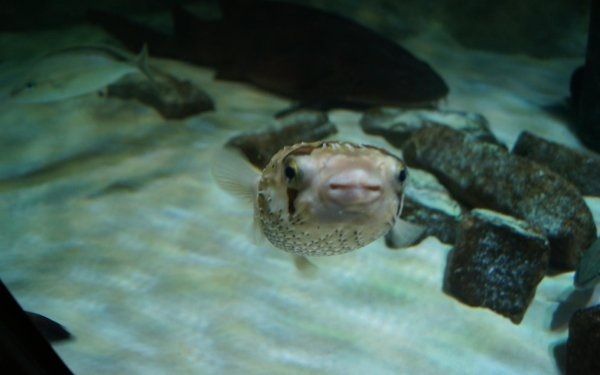 Animal Pufferfish HD Wallpaper | Background Image