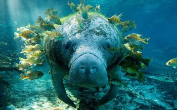 Animal - Manatee Wallpapers and Backgrounds ID : 394141