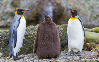 Animal - Penguin Wallpapers and Backgrounds ID : 394644
