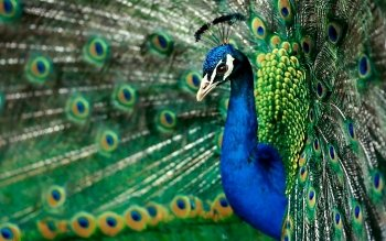 Animal - Peacock Wallpapers and Backgrounds ID : 394666