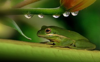 Animal - Frog Wallpapers and Backgrounds ID : 394783