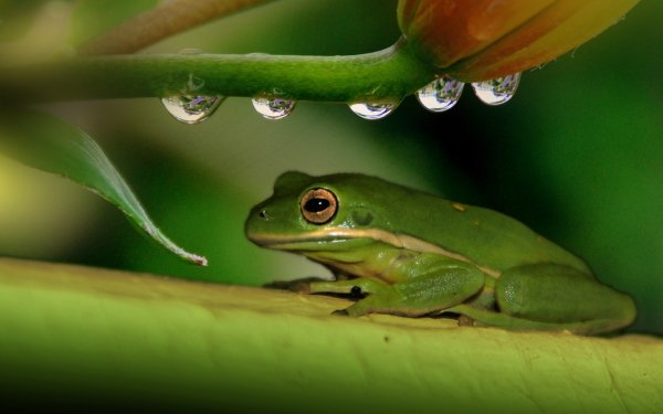Animal White-Lipped Tree Frog Frogs Frog HD Wallpaper | Background Image