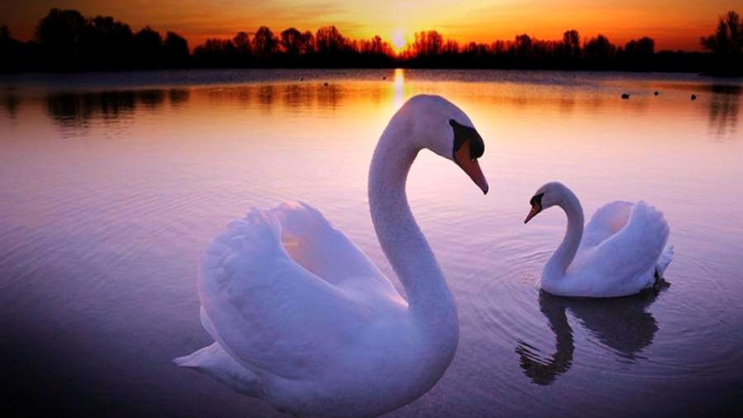 Swans web photos on pinterest 24 pins - Swan wallpapers for desktop ...