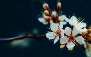 Earth - Blossom Wallpapers and Backgrounds ID : 395104