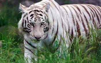 Animal - White Tiger Wallpapers and Backgrounds ID : 395482