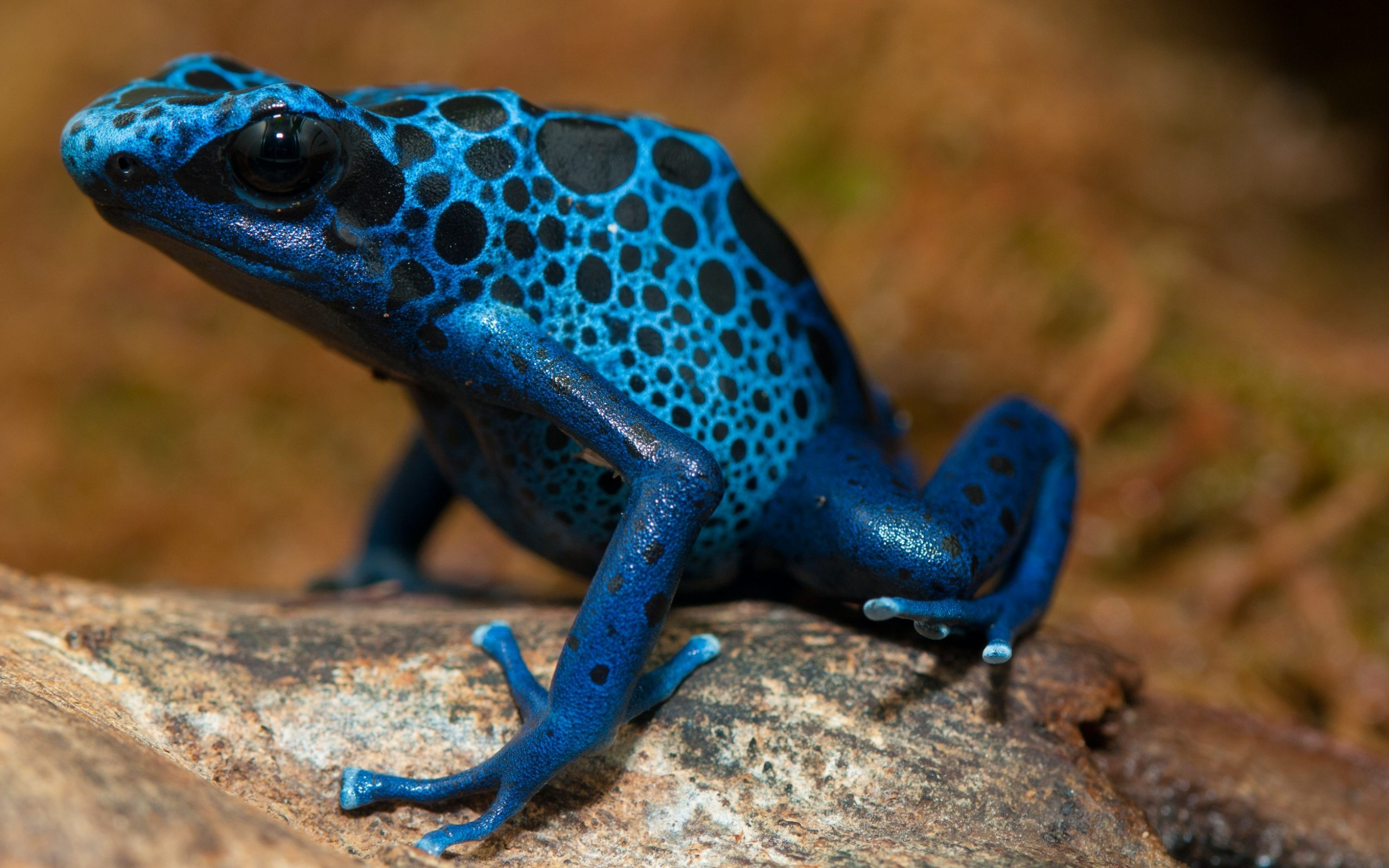 Poison dart frog Full HD Wallpaper and Background Image ...