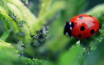 Animal - Ladybug Wallpapers and Backgrounds ID : 396474