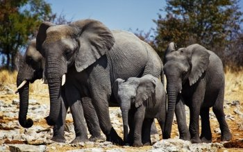 Animalia - Elephant Wallpapers and Backgrounds ID : 396511