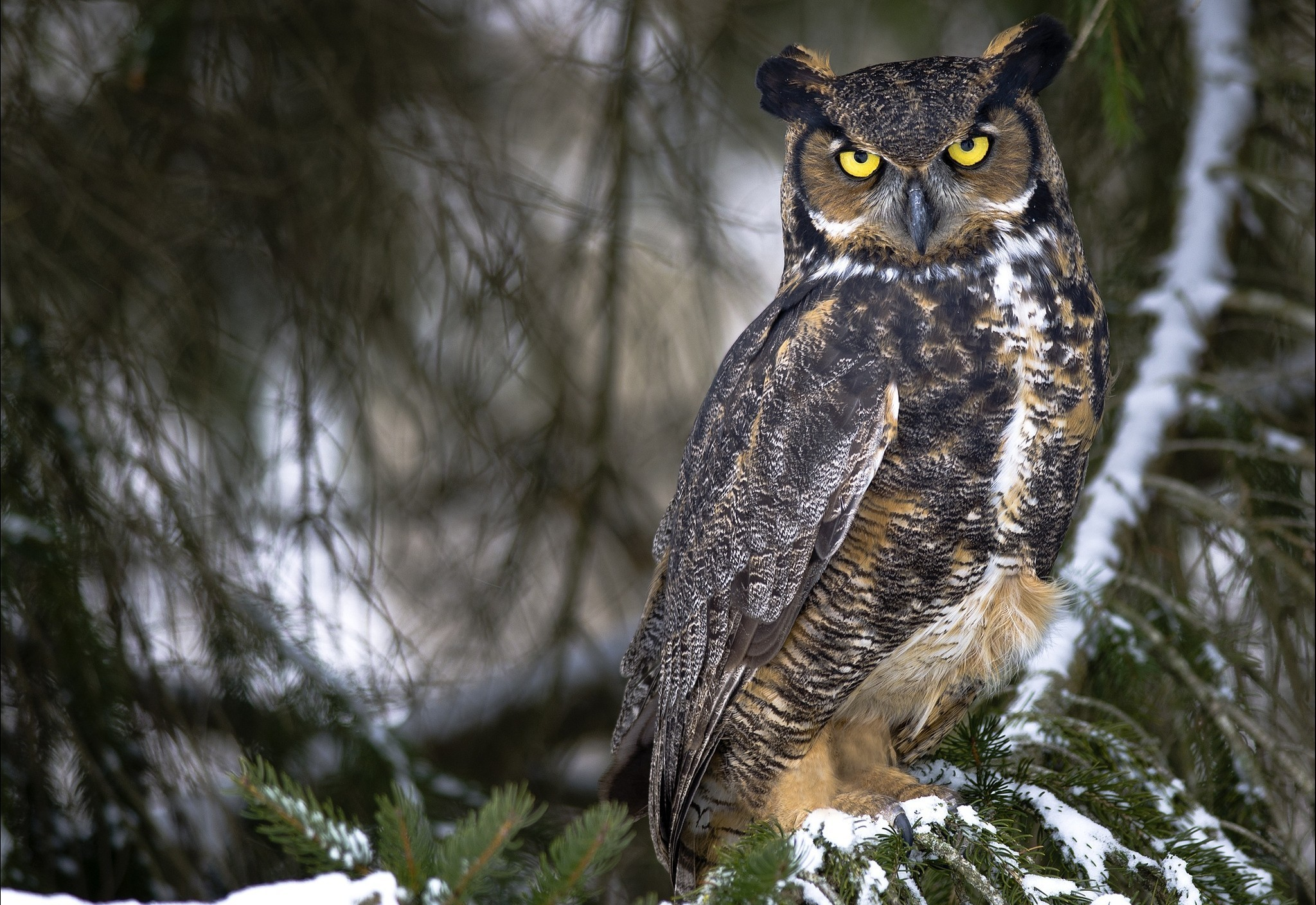 Owl Full HD Wallpaper and Background | 2048x1408 | ID:397815