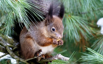 Animal - Squirrel Wallpapers and Backgrounds ID : 397448