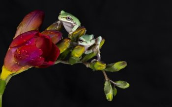 Animal - Frog Wallpapers and Backgrounds ID : 397897