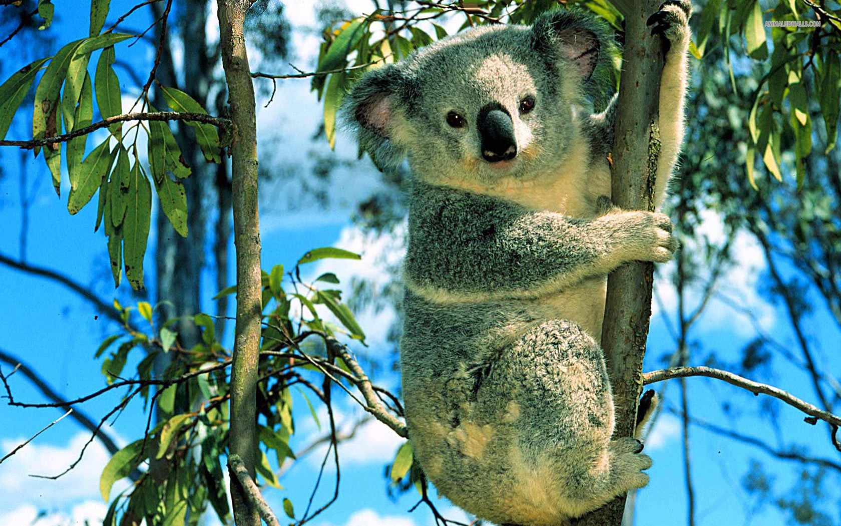 78 Koala HD Wallpapers | Background Images - Wallpaper ...