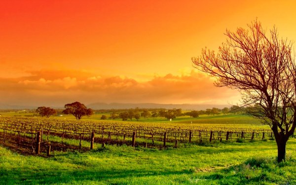 Man Made Vineyard HD Wallpaper   Background Image