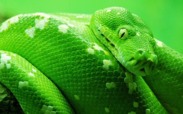 Animal Python Reptiles Snakes Snake HD Wallpaper | Background Image