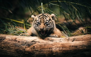 Animal - Tiger Wallpapers and Backgrounds ID : 401521