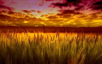 Earth - Wheat Wallpapers and Backgrounds ID : 401694