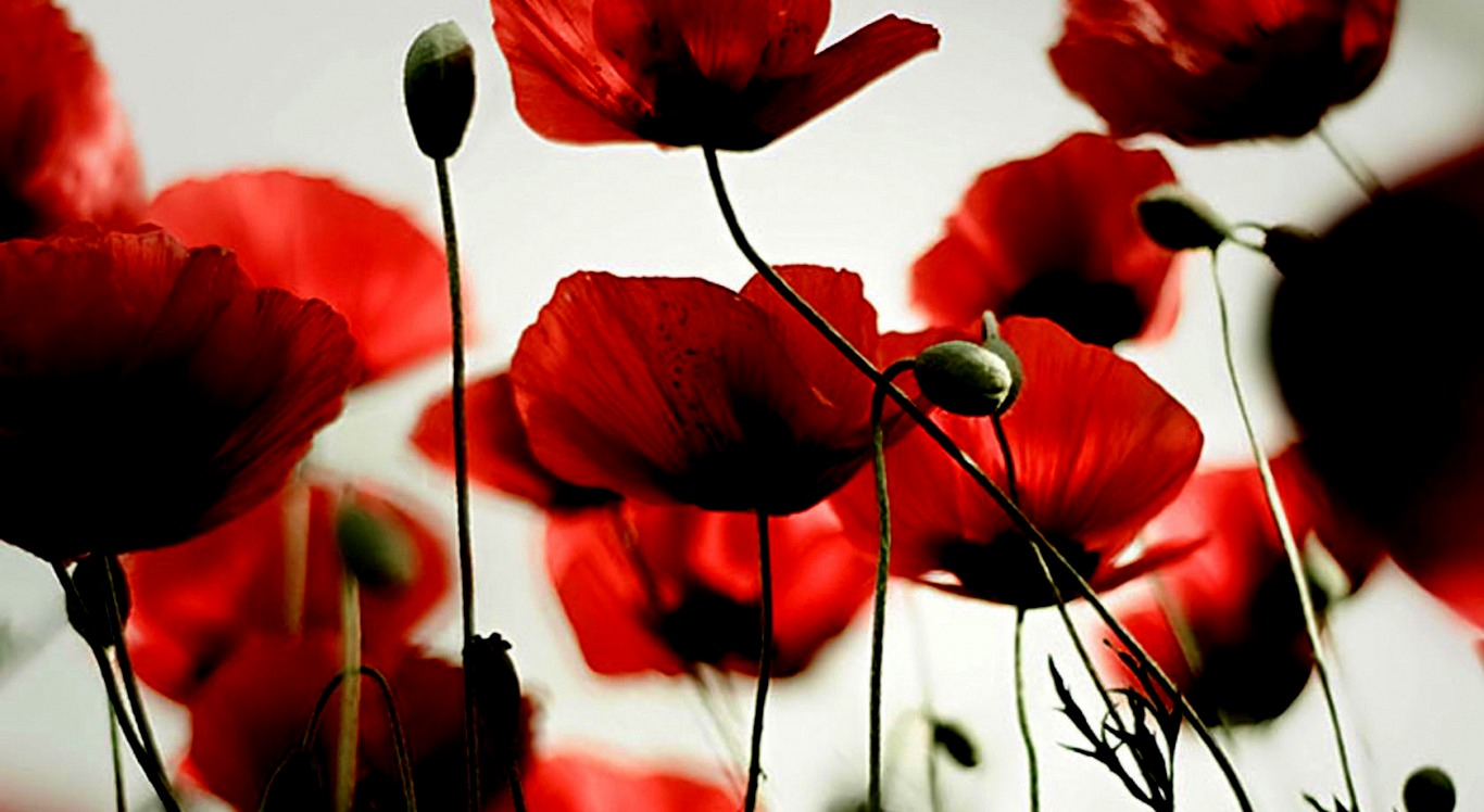 poppy wallpaper and background image | 1366x748 | id:402156