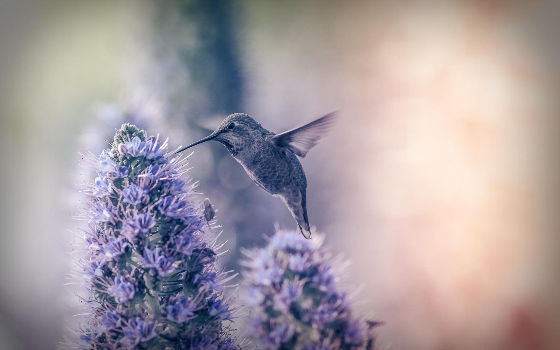 Hummingbird full hd wallpaper and background image - Animal and bird hd wallpaper ...
