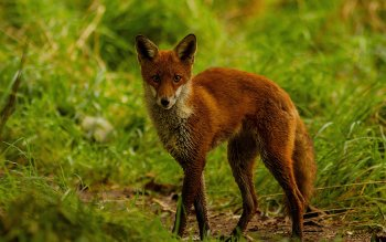 Animal - Fox Wallpapers and Backgrounds ID : 402363