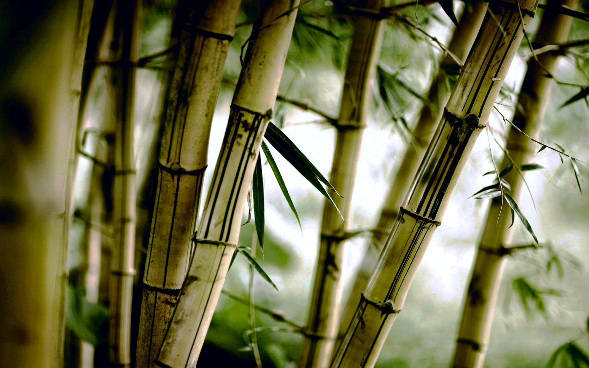 Earth - Bamboo  Photography Nature Tree Green Wallpaper