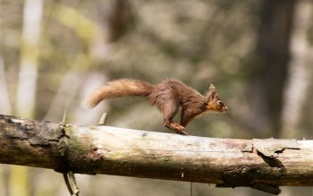 Animal - Squirrel Wallpapers and Backgrounds ID : 403564