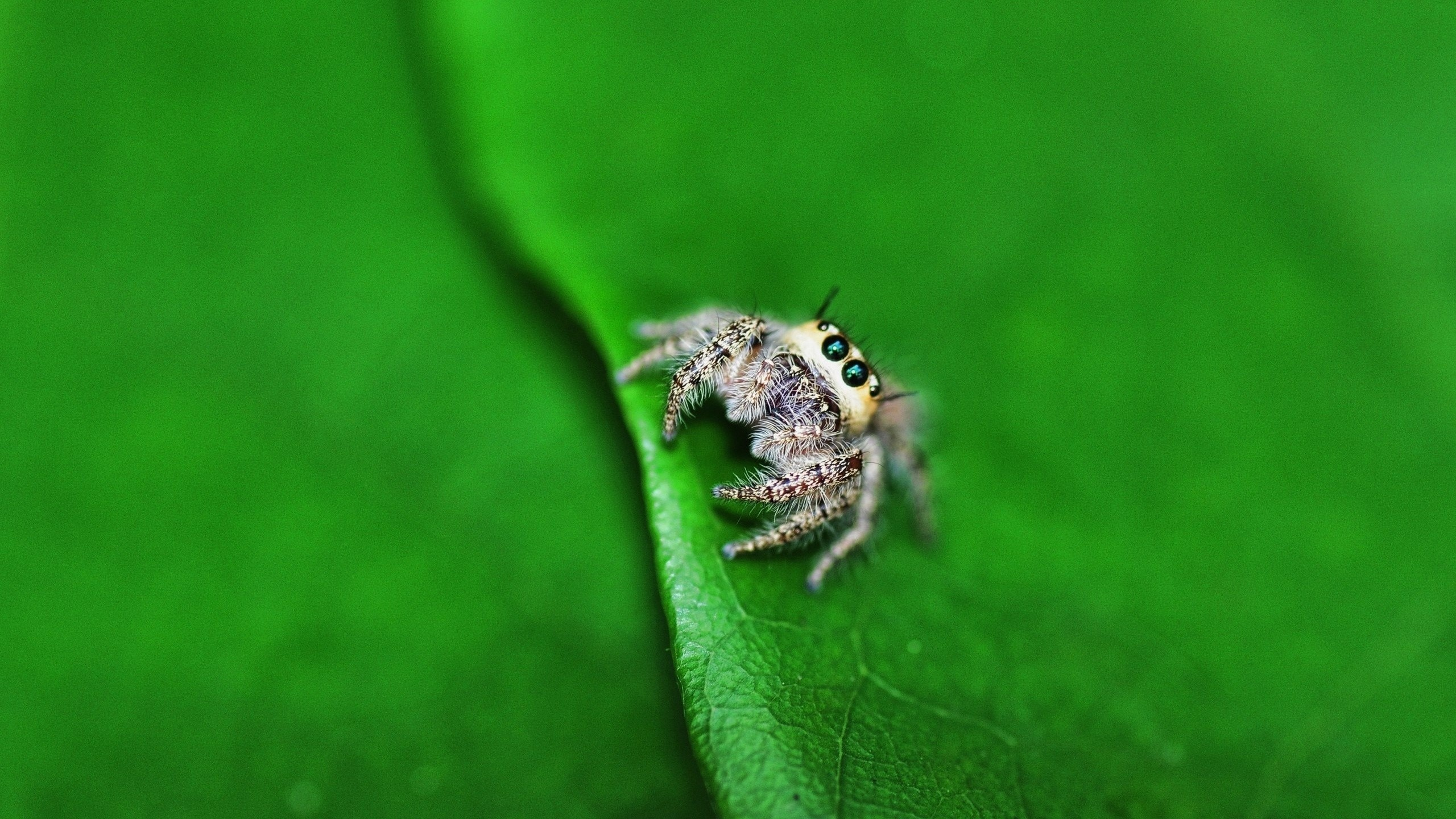 Wallpaper Jumping Spider, eyes, insects, leaves, green, nature ...