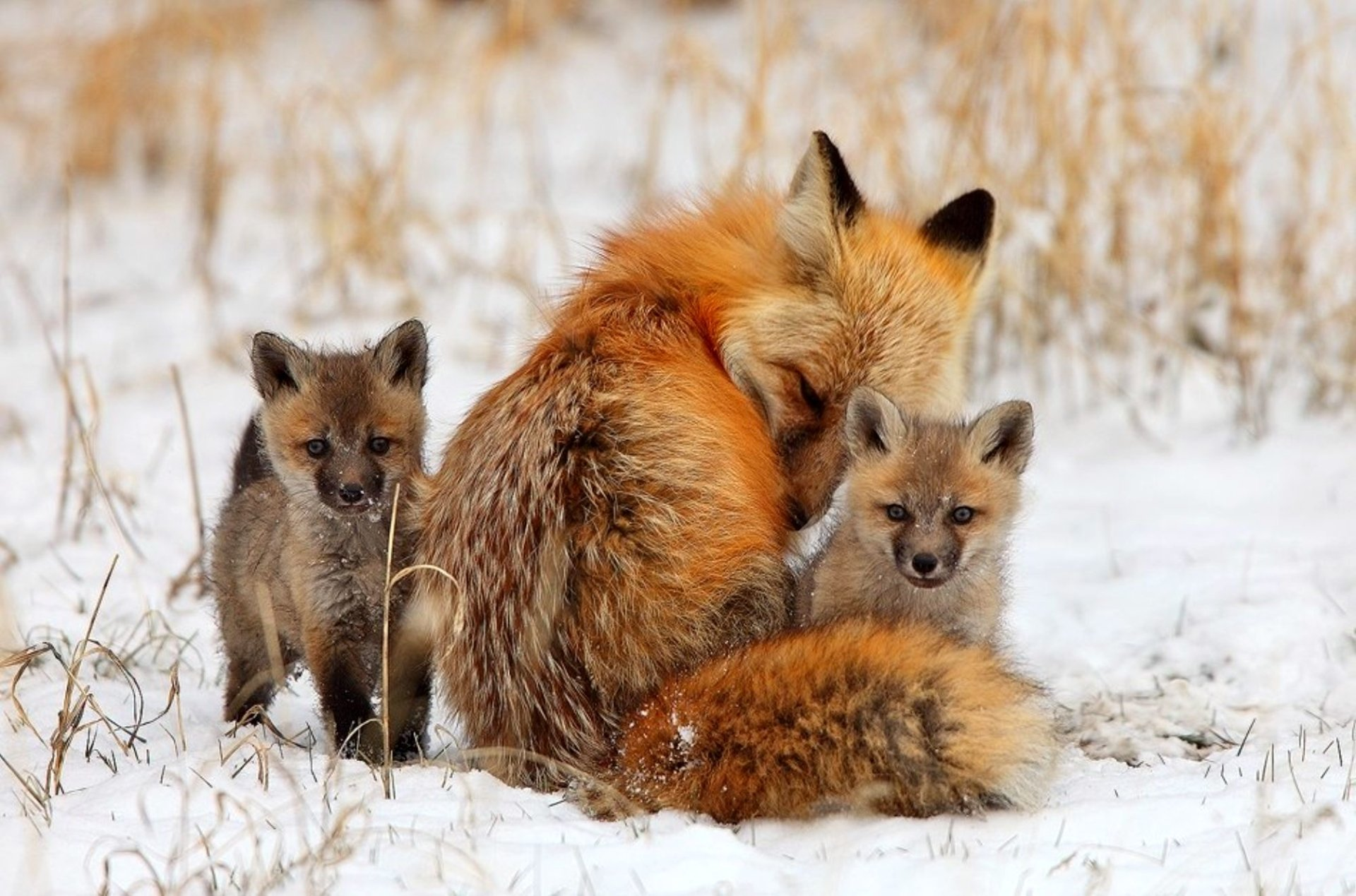 Animal - Fox  Animal Wildlife Cub Wallpaper