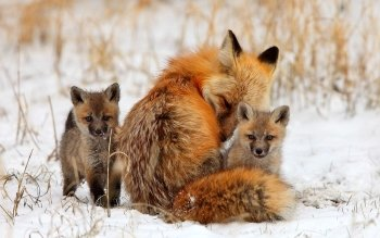 Animal - Fox Wallpapers and Backgrounds ID : 404277