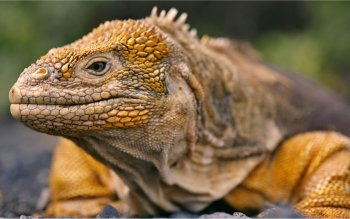 Animal - Iguana Wallpapers and Backgrounds ID : 404827