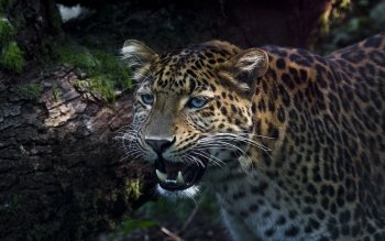 Animalia - Leopard Wallpapers and Backgrounds ID : 405124