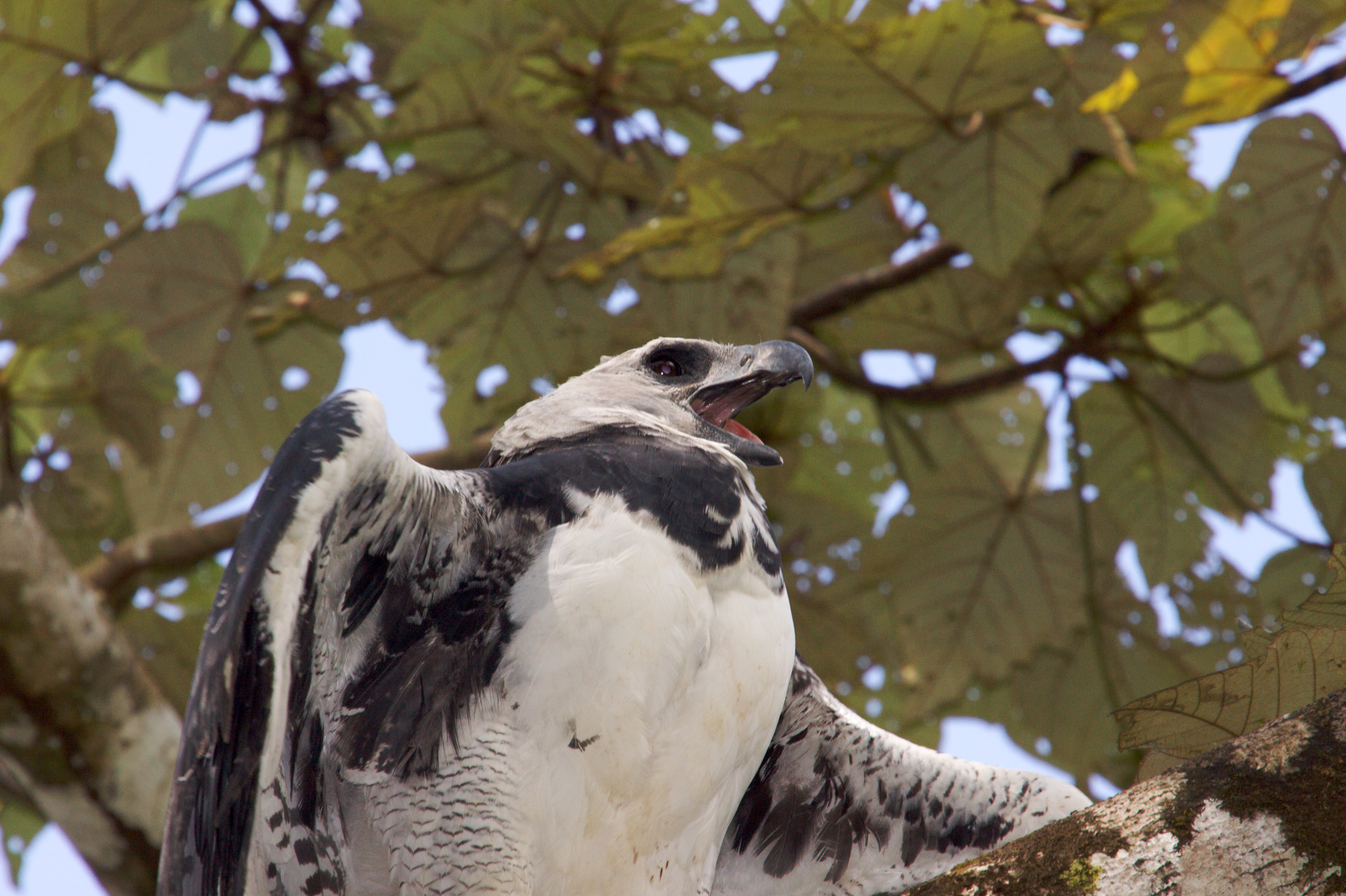 Harpy eagle 4k ultra hd wallpaper and background image - Harpy eagle hd wallpaper ...
