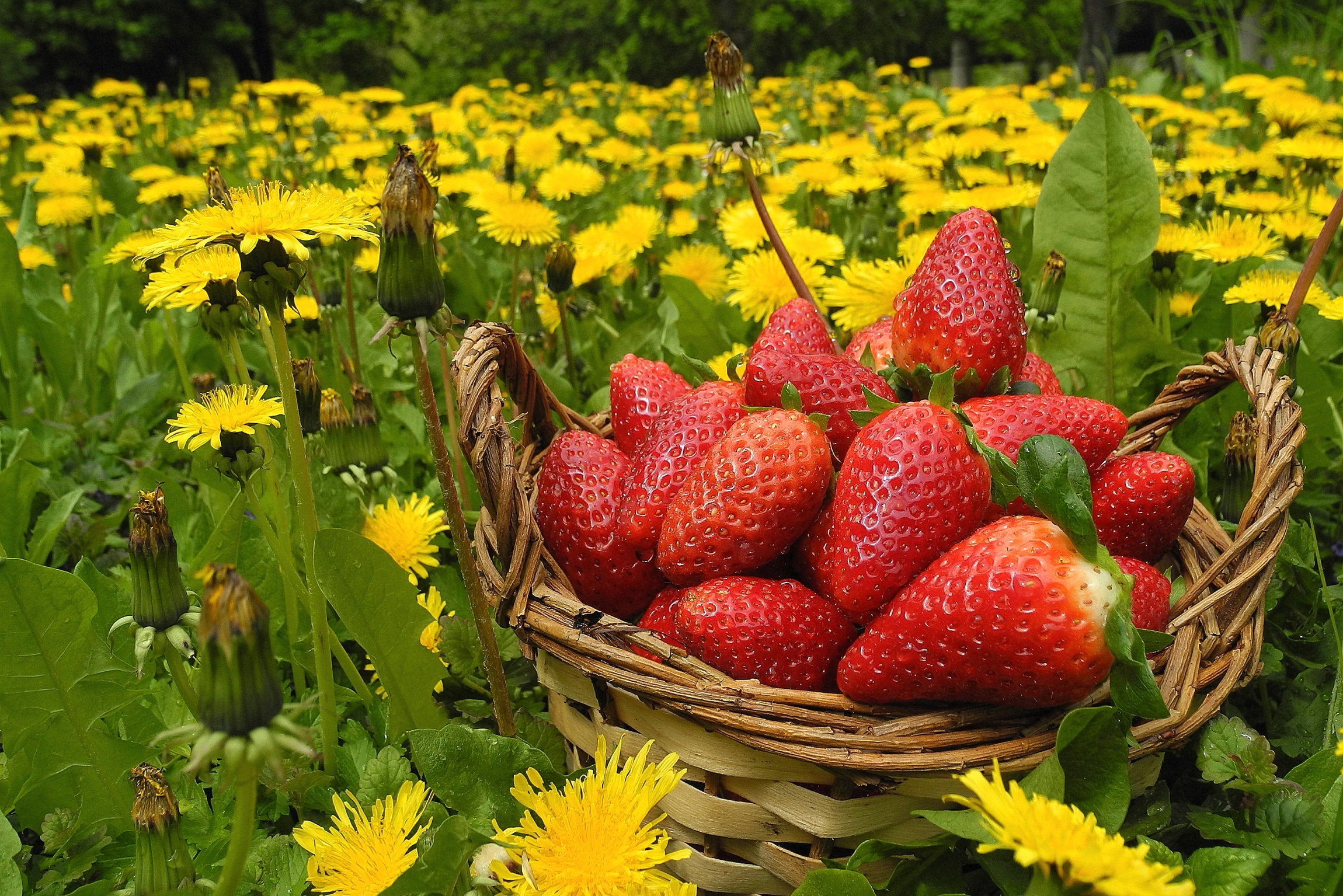 Strawberry Full HD Wallpaper and Background Image ...