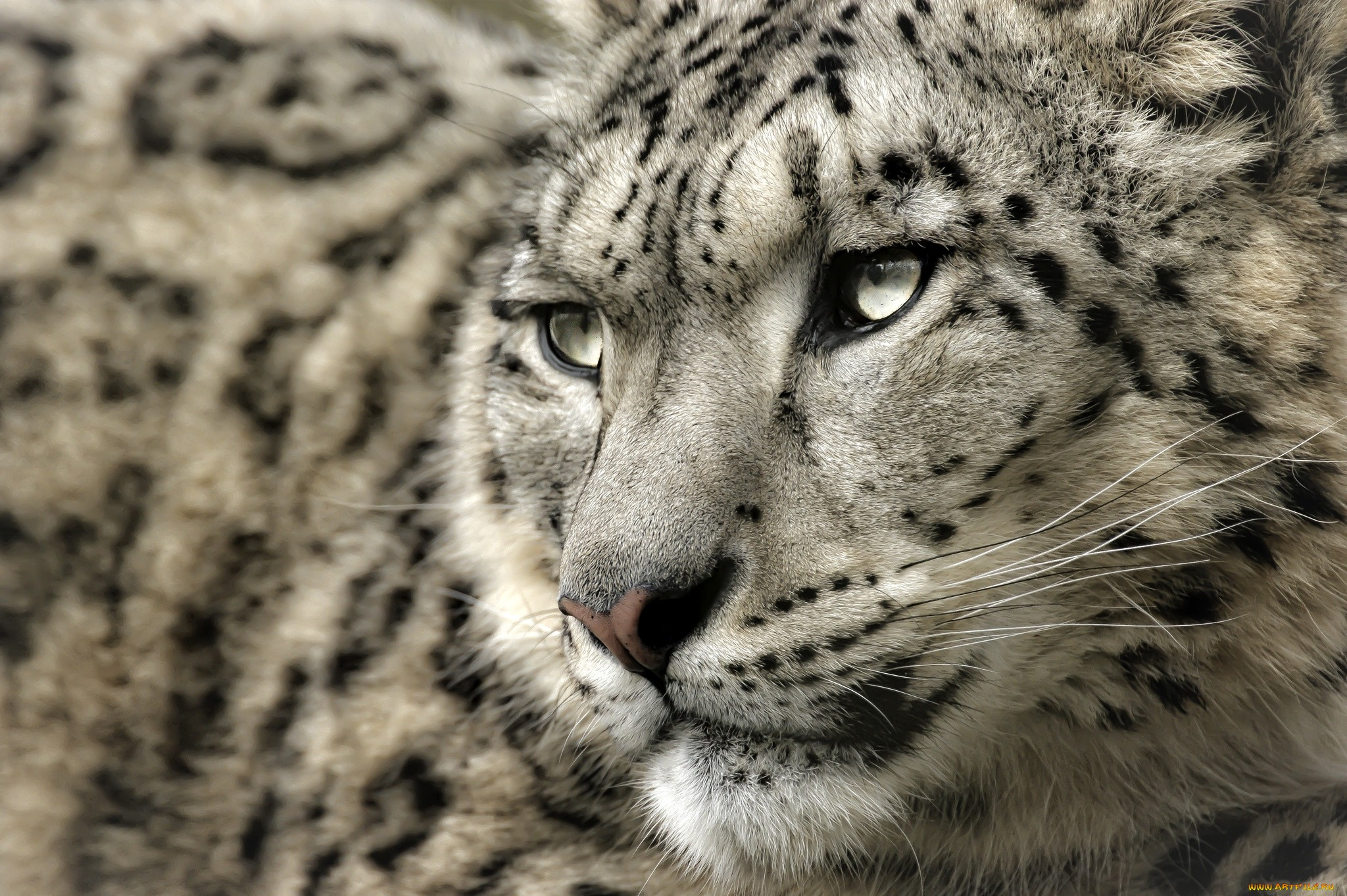 Snow Leopard Full Hd Wallpaper And Background 2048x1363