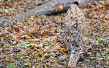 Animal - Lynx Wallpapers and Backgrounds ID : 406087