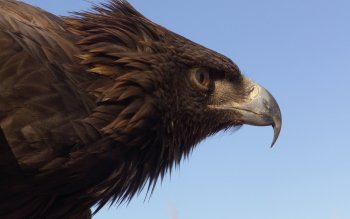 Animal - Eagle Wallpapers and Backgrounds ID : 406122