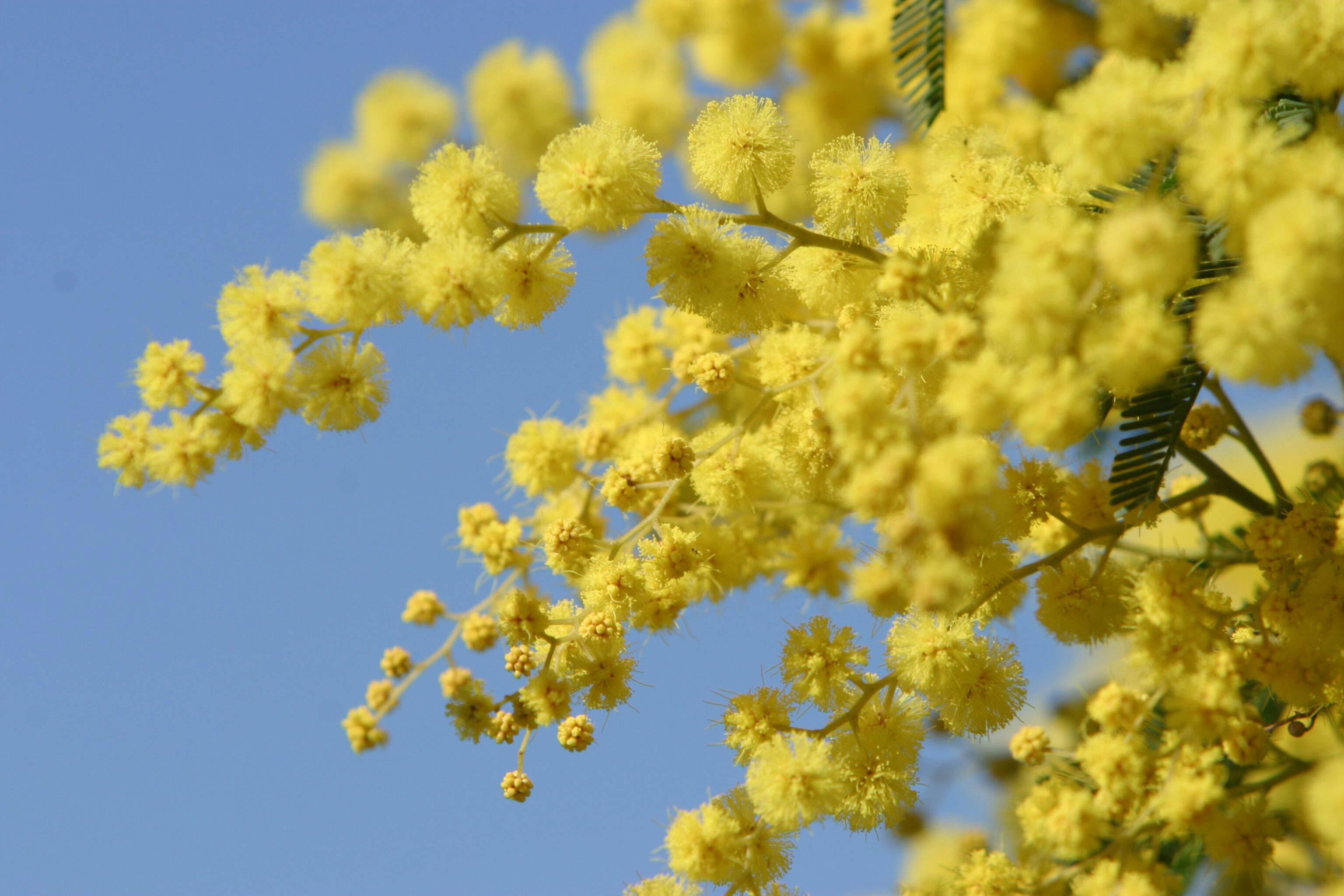 Australia's National flower, Golden Wattle Full hd