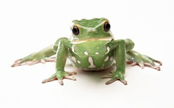 Animal - Frog Wallpapers and Backgrounds ID : 407341