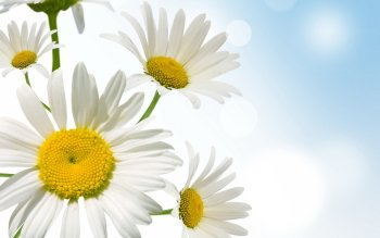Earth - Daisy Wallpapers and Backgrounds ID : 407874