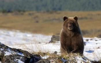 Animal - Bear Wallpapers and Backgrounds ID : 408100