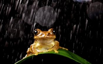 Animal - Frog Wallpapers and Backgrounds ID : 408343