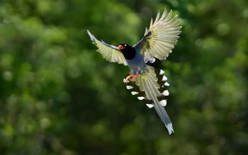 Tier - Taiwan Blue Magpie Wallpapers and Backgrounds ID : 408357